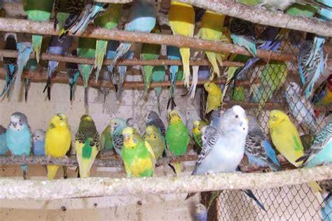 gabbia cocorita le cocorite pappagallini ondulati