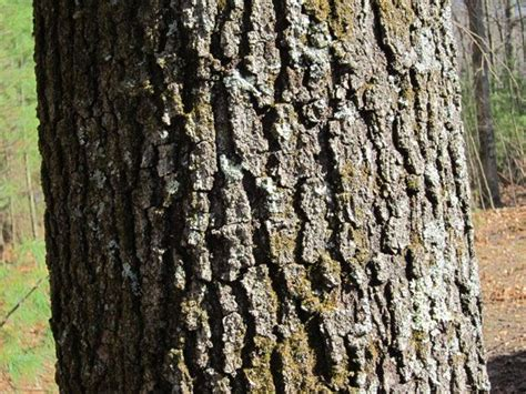 oak tree bark google search trees pinterest oak