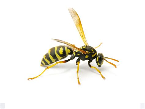 bees wasps and ants and other stinging insects classic reprint books types of pests pest identification barnes exterminating