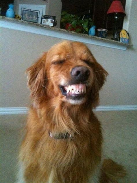 golden retriever teeth is this golden retriever smiling or protecting someone or just showing his