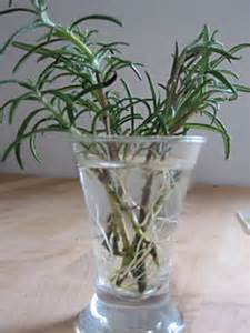 Rosemary Plant Diseases - rooting rosemary in water mad about herbs