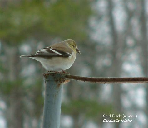 sc south carolina bird pictures page perching birds