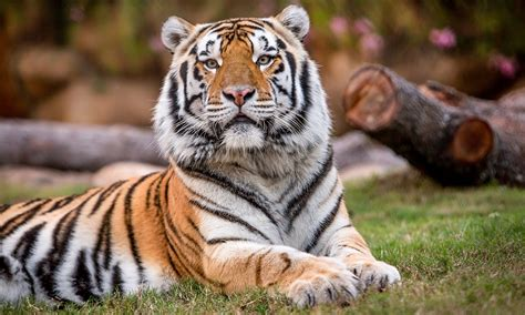 fighting cancer lsu s mike vi to remain at home for
