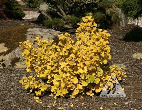 ginkgo biloba mariken 736 33 best fastigiate trees images on plant