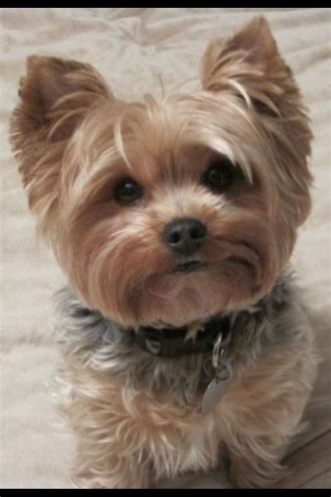 yorkie summer haircut photos 58 best yorkshire terriers images on pinterest yorkshire