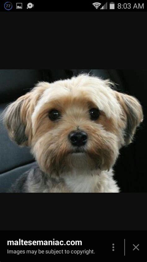 grooming cuts for maltese yorkie mix 12 best morkie haircuts images on pinterest yorkies