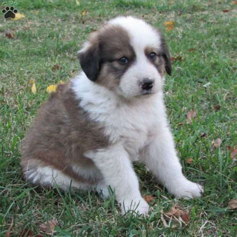 puppy finder pa mack great pyrenees mix puppy for sale in pennsylvania