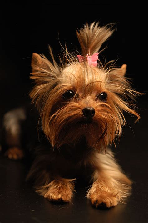 how much should a yorkie eat do not let your yorkie eat it