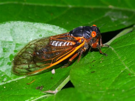 the cicada invasion is here