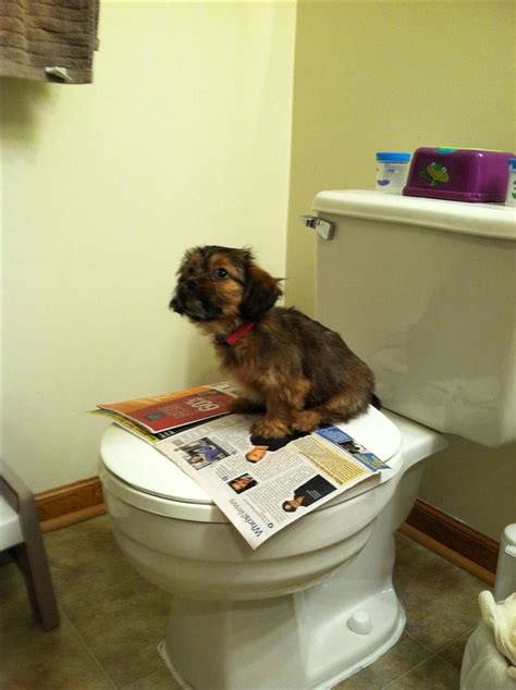 how to potty my shih tzu puppy potty our schweenie shih tzu miniature dachshund on the toilet