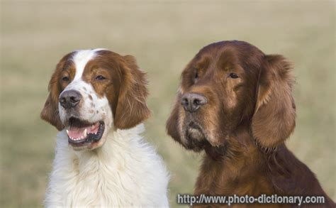 define setter c irish setter photo picture definition at photo