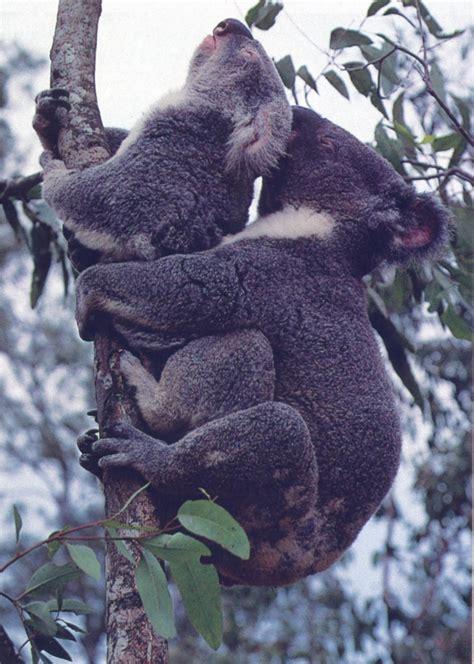 male female koalas photo jim frazier mating image