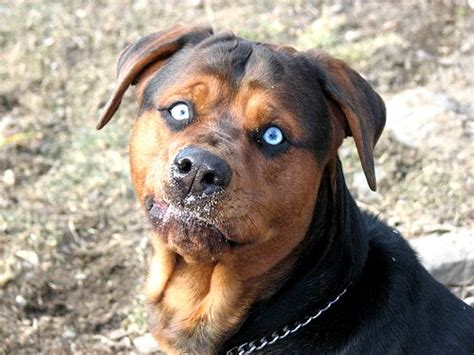 rottweiler with blue german shepherd rottweiler pitbull mix photo happy heaven
