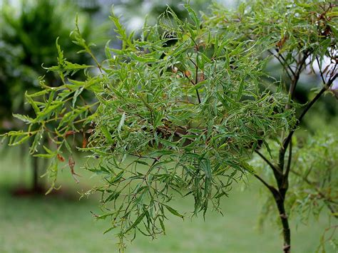images of plants polyscias fruticosa images useful tropical plants