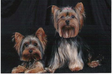 do yorkies human hair home barker s puppy yorkies and chihuahuas