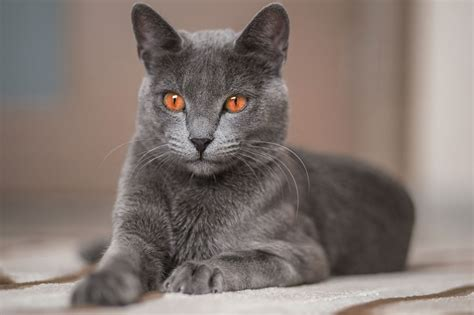 Blue Cat by The Of Cuteness Russian Blue Cat Personality