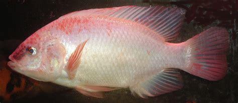 ikan nila merah tilapia seputar perikanan