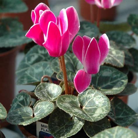 fiore ciclamino ciclamino significato significato fiori il significato