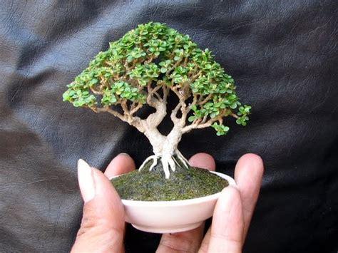 iseng aja mini bonsai