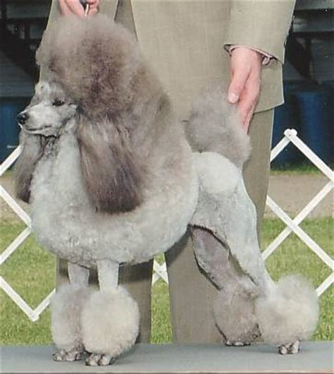 pictures of different types of poodles different types of poodle poodlian blog