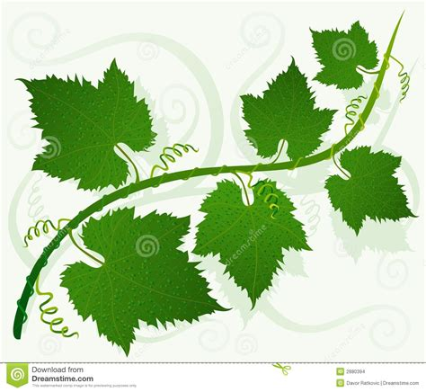 imagenes de uvas con hojas green grape leaves stock images image 2880394