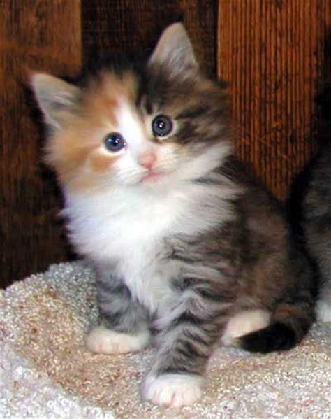131 bästa bilderna om Norsk skogkatt på Pinterest   Katter