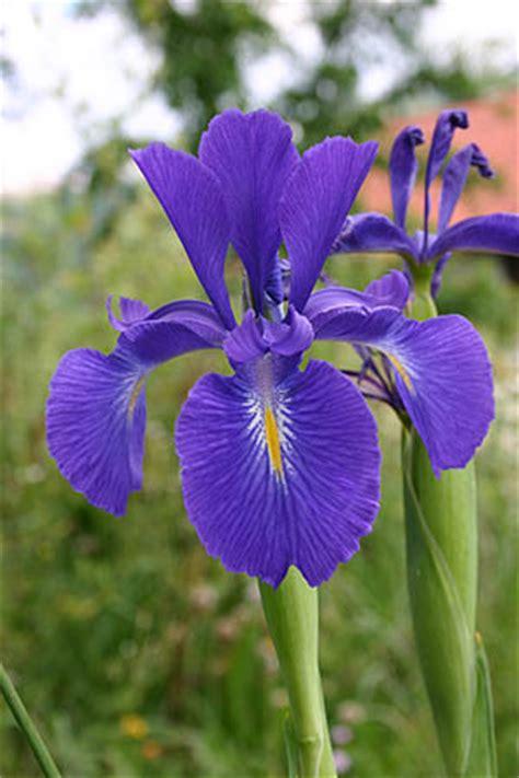 imagenes de flores iris im 225 genes de flores y plantas iris