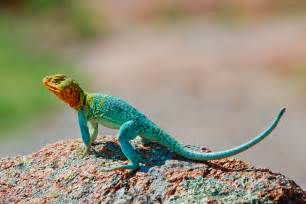 colorful lizard colorful lizards wallpapers gallery