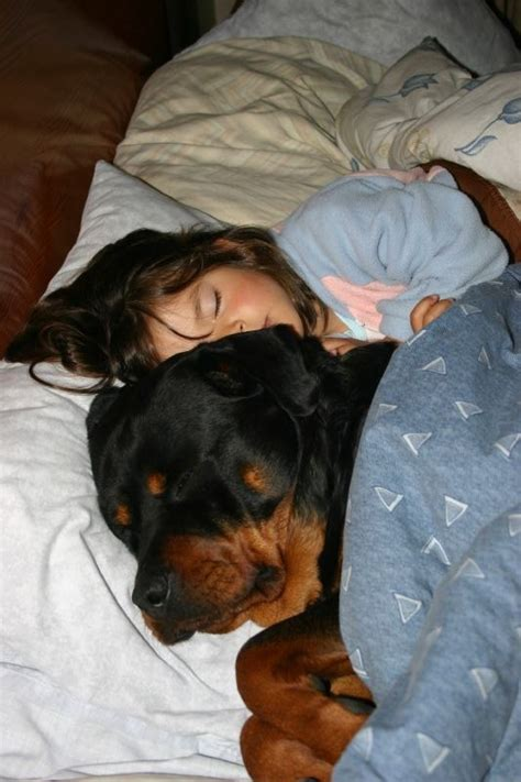 what does a rottweiler eat 30 ferociously adorable rottweilers will melt your