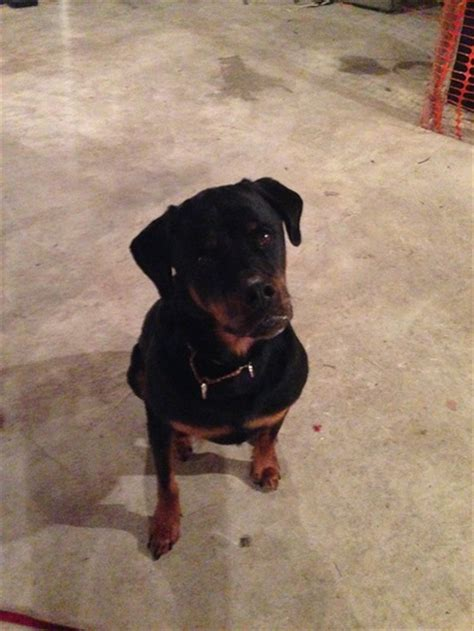rottweiler rescue ma adoptable dogs east rottweiler rescue referral inc