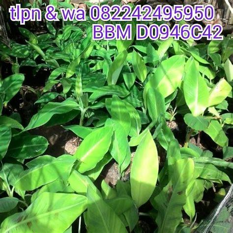 Jual Alat Hidroponik Ambon 082242495950 distributor bibit pisang patio garden