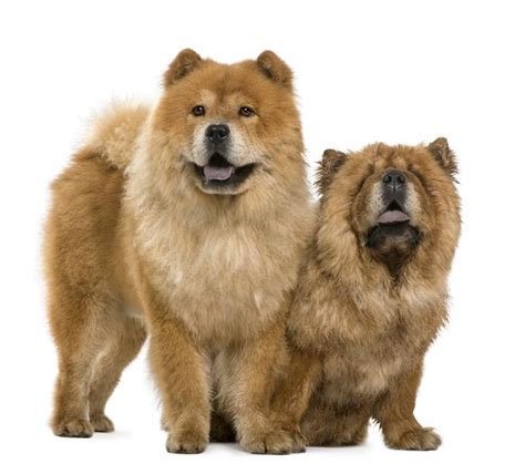 chow breed chow chow5 jpg chow chow breeds