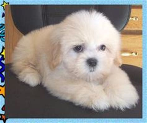 half shih tzu and half bichon frise 1000 ideas about teddy puppies on australian labradoodle