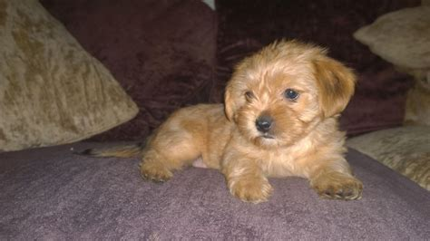shih tzu and yorkie mix puppies yorkie mixed with shih tzu pictures breeds picture