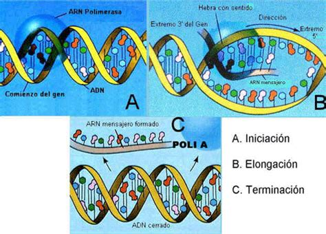 Dna 0 Resumen by Ma 4 1 Replicaci 211 N Genoma Procari 211 Tico