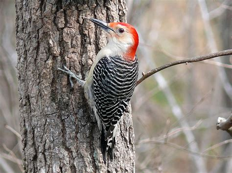 red bellied woodpecker 187 bird watcher s digest
