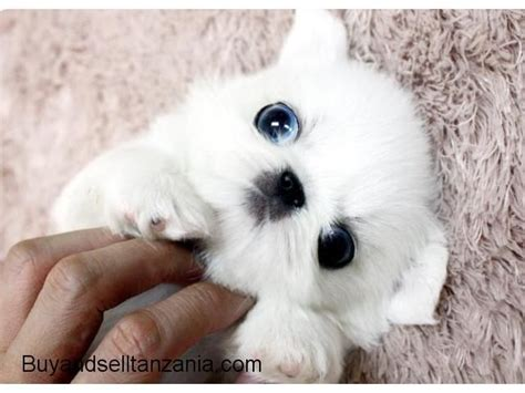 pomeranian pekingese puppies for sale 78 best images about pekingese on teacup pomeranian tanzania and joan rivers