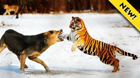 Fight Like A Tiger Win Like A Chion Darmadi Darmawangsa 1 tiger fighting to is the best fighting of the tiger attacks crocodile
