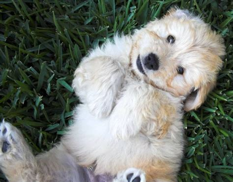 golden retriever poodle mix breeders poodle golden retriever mix pets