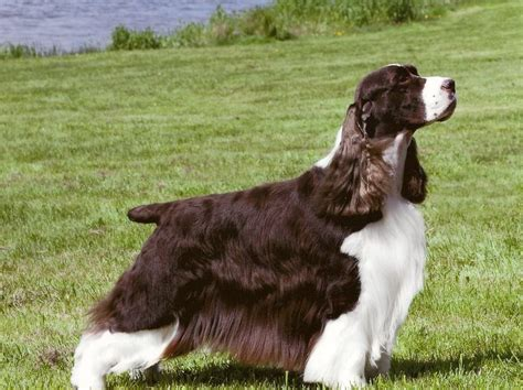 english springer spaniel bench faq s english springer spaniel club of canada