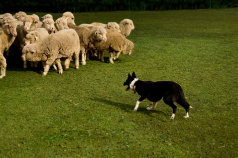 how to a to herd sheep how to a herding puppy the daily puppy