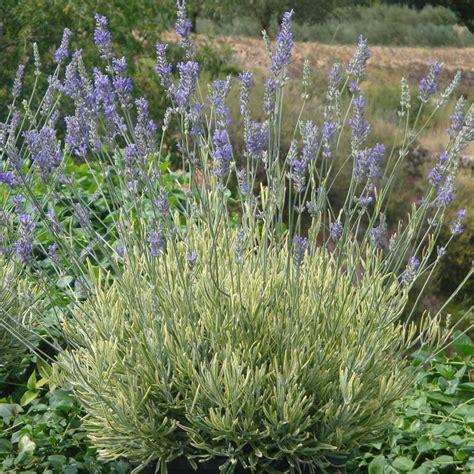 platinum blonde lavender pale blonde accented foliage gardening perennials bulbs