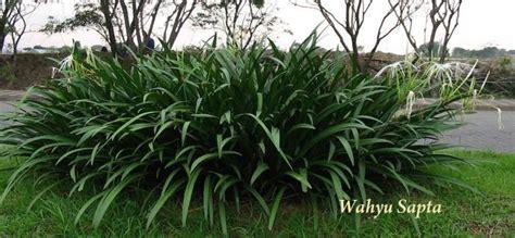 Tanaman Bunga Zephyrantes Putih beberapa tanaman pengganti rumput untuk taman kompasiana