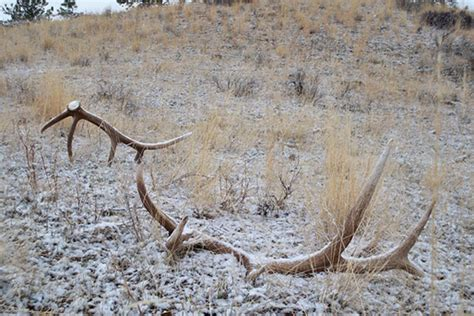 Elk Antler Shed by Insanely Awesome Elk Shed Antler Photos Gohunt