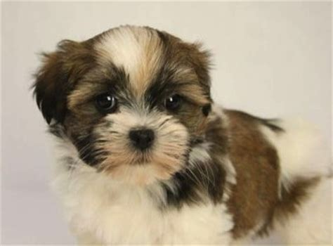 havanese or shih tzu archives shih tzu city