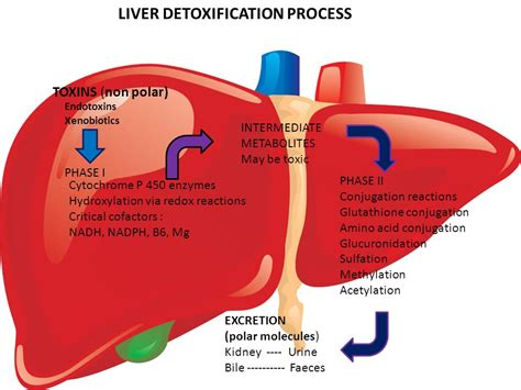 Phase 2 Liver Detox Webmd by Holistic Detoxification Of The Liver Ppt