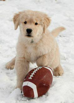 ll bean golden retrievers 1000 images about golden retriever pups on golden retriever puppies