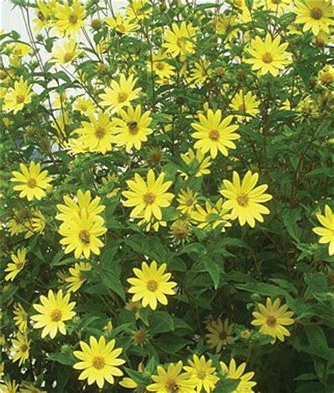 fall flowering perennials fall perennials greenway 17 best images about sunflowers perennial seasons