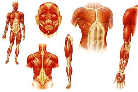 imagenes sorprendentes cuerpo humano musculos cuerpo humano sin nombres imagui