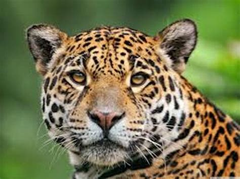 what do you call a baby jaguar 10 interesting jaguar facts my interesting facts